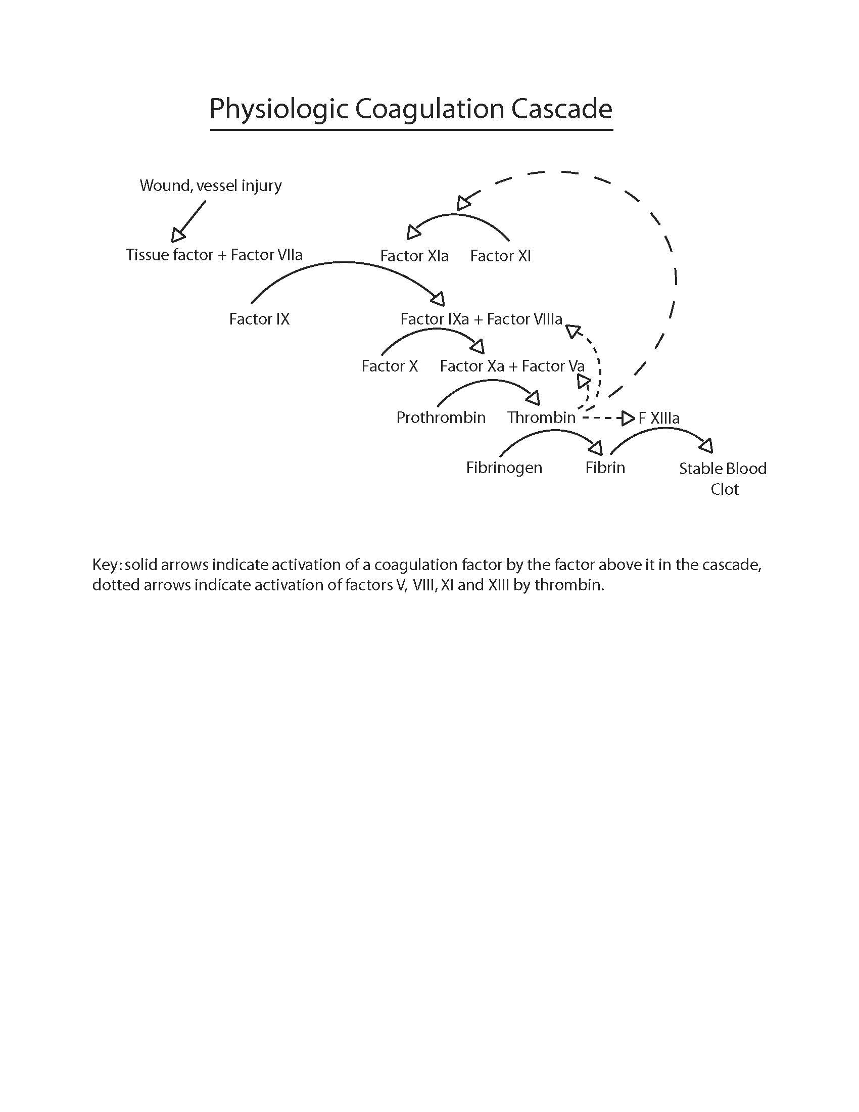 Diagram of the physiologic coagulation cascade